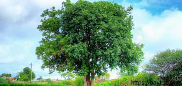 شجرة النيم وفوائدها