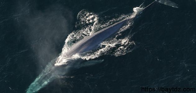 ما هي أنواع الحيتان