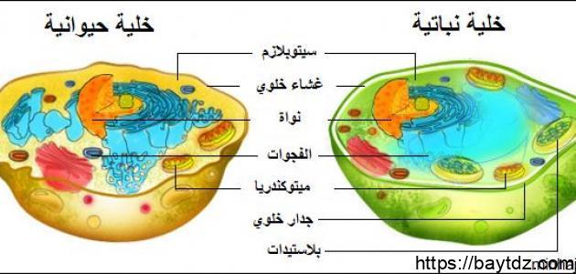 أجزاء الخلية الحيوانية ووظائفها