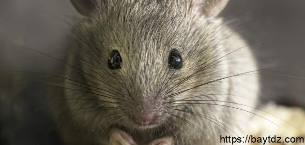 أسباب وجود الفئران في البيت