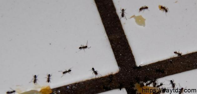 أفضل الطرق للقضاء على النمل المنزلي