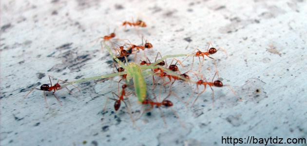 أفضل حل للنمل الصغير