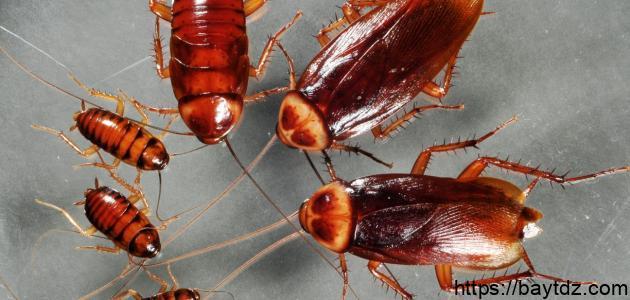 أنواع الصراصير وكيفية القضاء عليها