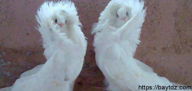 أنواع طيور الحمام