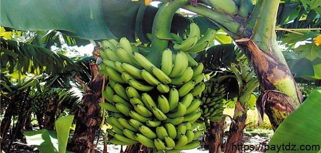 أين يزرع الموز