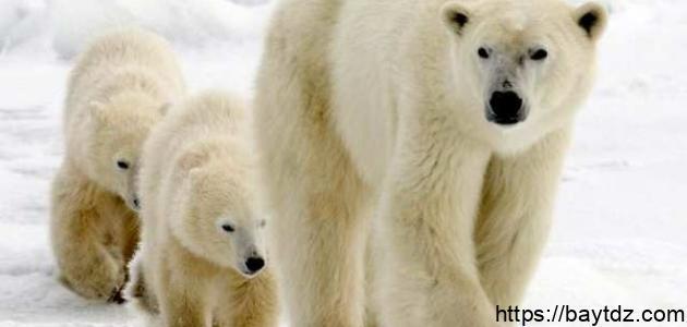 أين يعيش الدب القطبي
