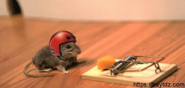 احسن وأفضل  طريقة لصيد الفئران