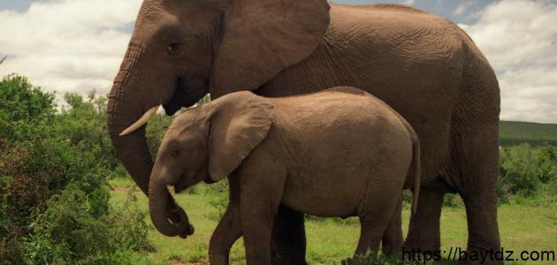 اسم صغير الفيل
