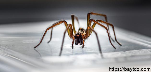 التخلص من العنكبوت في البيت