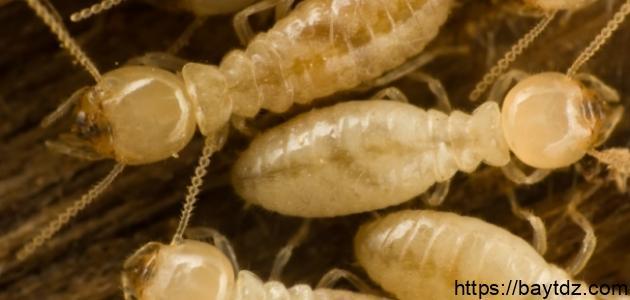 النمل الأبيض