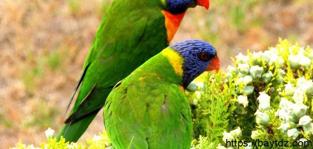 تربية العصافير الأسترالية