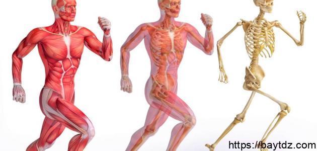 تعريف الجهاز العضلي