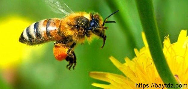 تقرير عن النحل