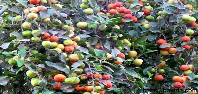 ثمار شجرة السدر