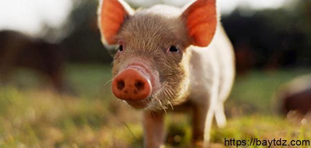 حكم لبس جلد الخنزير