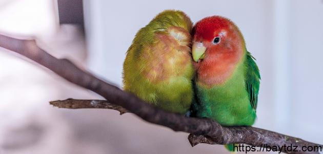 حياة طيور الحب
