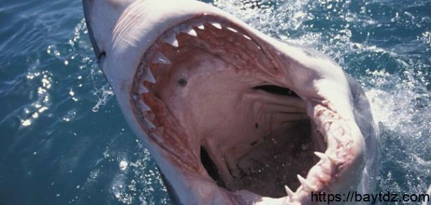 سمكة القرش