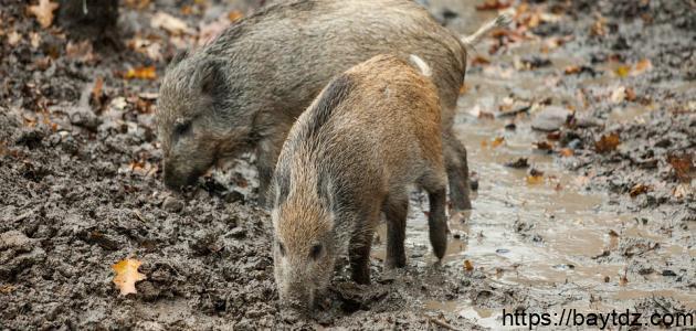 صيد الخنزير في الجزائر