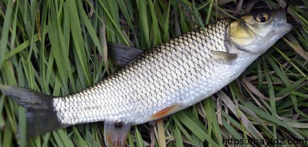صيد سمك البوري