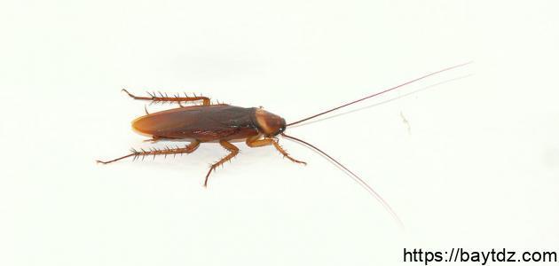 طرق القضاء على الصراصير المنزلية