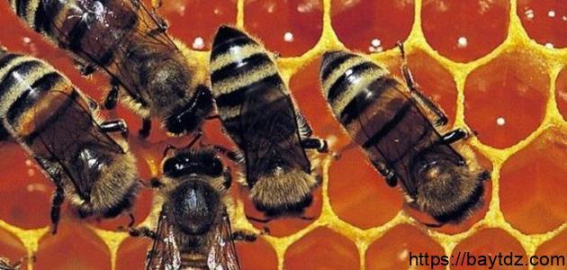 طريقة استخدام غذاء ملكات النحل