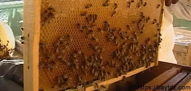 طريقة تربية النحل للمبتدئين