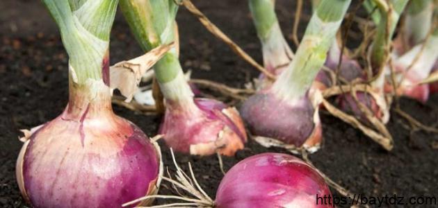 طريقة زراعة البصل