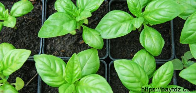 طريقة زراعة الريحان