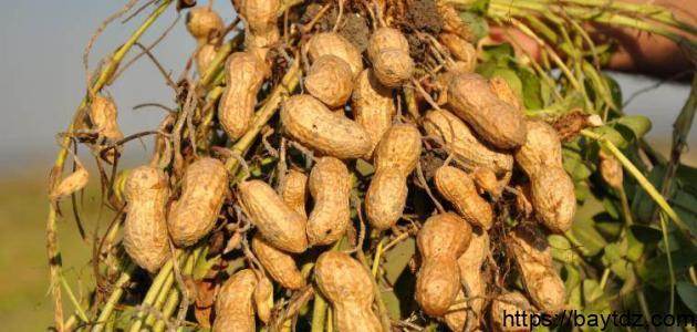 طريقة زراعة الفول السوداني