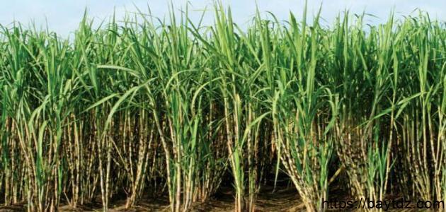 طريقة زراعة قصب السكر