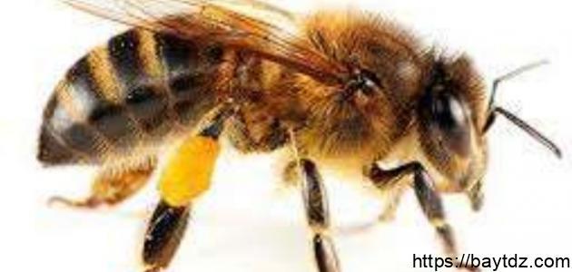 عدد أرجل النحلة