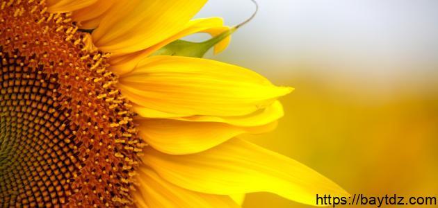 فوائد بذور دوار الشمس للتنحيف