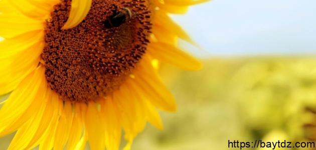 فوائد دوار الشمس للتخسيس