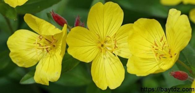 فوائد زهرة الربيع للبشرة