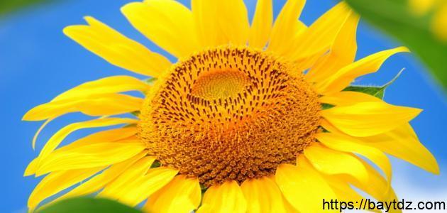 فوائد زهرة الشمس