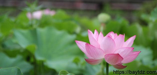 فوائد زهرة اللوتس