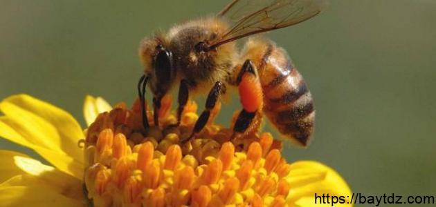 فوائد سم النحل للعقم