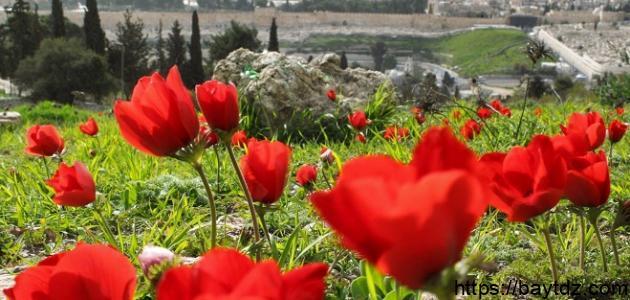 فوائد عشبة شقائق النعمان