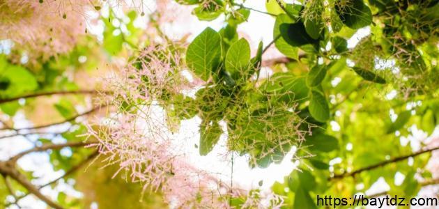 فوائد ورق شجرة الكينا