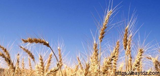 كم تبلغ نسبة البروتينات في حبة القمح