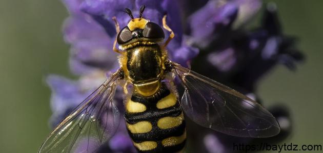 كم زوجاً من الأجنحة تملك النحلة