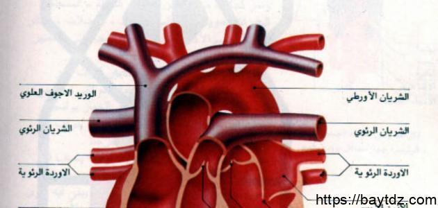 كم عدد صمامات القلب