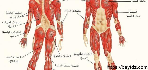كم عدد عضلات الإنسان