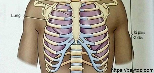 كم عدد عظام القفص الصدري للإنسان