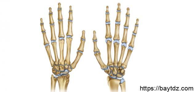 كم عدد فقرات أصابع اليد الواحدة