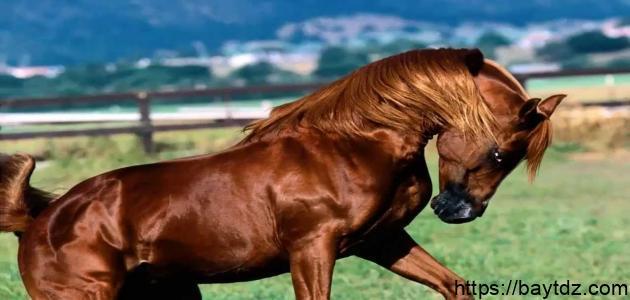 كم يزن الحصان
