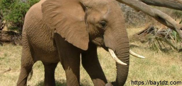كم يزن الفيل