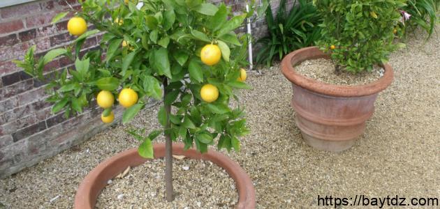كيف أزرع شجرة الليمون