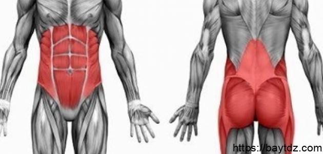 كيف تتكون العضلات