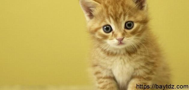 كيف تربي قطة صغيرة